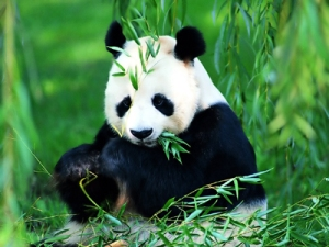 Giant panda, photo Xinhua News Agency