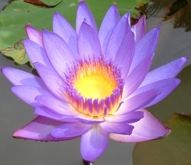 Lotus flower is the source of new luxurious eco-fabric.