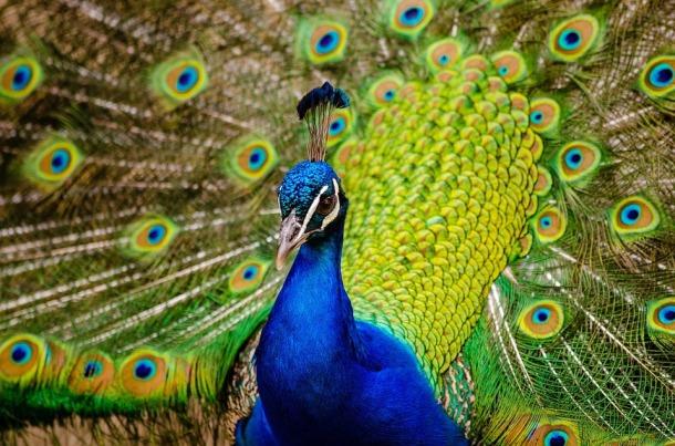 peacock-977830_960_720