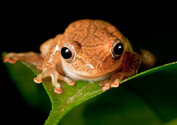 Tree frog spotted in Cote d'Ivoire. Photo via Rainforest Alliance.