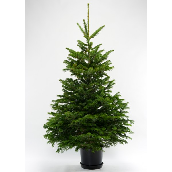 Ecosapin offers Chirstmas trees which are collected and replanted after the holiday season.