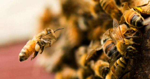 8-1-manuka-honey-research_antibacterial-comps-of-honey